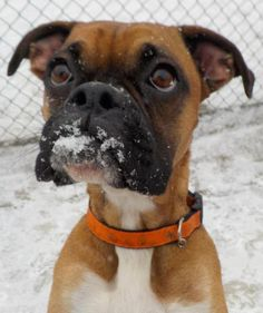 """ADOPTED - DEE """"14 Dee"""" - URGENT - Stark County Dog Warden in Canyon, Ohio - ADOPT OR FOSTER - Young Female Boxer - Available January 9, 2017"""