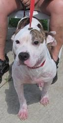 URGENT!  ~ HOLLY ~ FOUND IN CANTON, OHI>>> NOW NEEDS NEW HOME ASAP!!! SEE VIDEO!!! $86 CASH TO APPROVED HOME!  SPONSORED She's a young adoptable female Pit Bull Terrier Dog in Canton, OH. Poor little Holly, is getting over a case of mange. Very sweet & loves people!