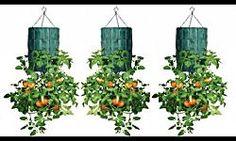 Normalmente se ubica en exteriores, aunque se pueden mantener en el interior hasta el momento de florecer. ¿Te gustas las hortensias?