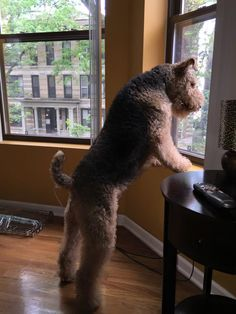 Airedale looking down at the activity on the street through an upper floor window