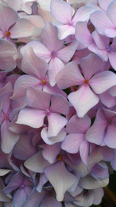 Peonies And Hydrangeas, Hydrangea Not Blooming, Hydrangea Flower, My Flower, Flower Power, Rock Flowers, Big Flowers, Amazing Flowers, Scottish Flowers