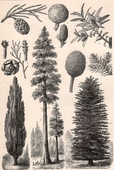 1898 Botanical Print Gymnosperms Pine Trees by Craftissimo on Etsy