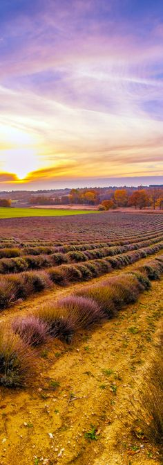 Colorful Sky over Lavender Field in Provence, France