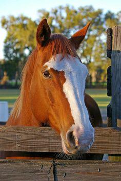 Equine - Paint horse named Sassy.