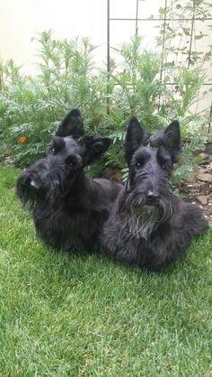 Scottish Terrier, Terrier Dogs, Terrier Mix, All Dogs, Best Dogs, Scottie Dogs, Daschund, New Puppy, Westies