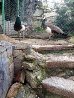 Hoy llegamos al gallinero y ¿qué encontramos? ¡resulta que a nuestro pavo Bruno le ha salido una novia! ...se están conociendo ...todavía son jóvenes, pero parece que se entienden bien