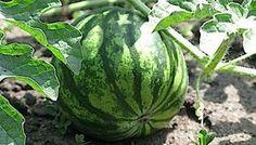 5 хитростей, которые помогут вырастить арбузы и дыни даже в суровых условиях   овощи