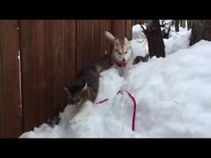 Don't let the little husky fool you | MNN - Mother Nature Network