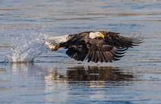 Bald eagle makes the catch of the day