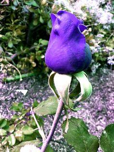 Purple Roses, Beautiful Roses, Butterflies, Beautiful Flowers, Roses, Bonito, Purple Rose, Butterfly