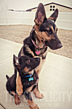 Holly & Blue #germanshepherds #puppy #dog