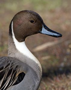 Northern pintail by © Max Waugh via maxwaugh.com