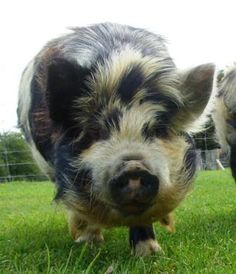 Kunekune pig. My daughter wants to raise a pig, this may be the only way we could do a pig.  They live on pasture and don't get too big. :)