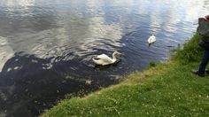 Swan ,i love to feed them