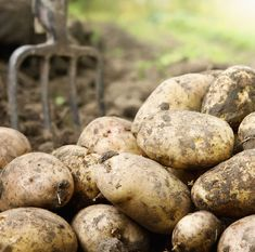 The Innovative Farmers network have been researching into blight resistant potato varieties, finding several heritage varieties and newer breeds with high yields and good resistance.