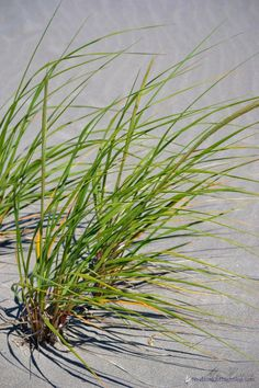 Sally Lee by the Sea   {At the Beach} Wandering Through the Dunes   http://nauticalcottageblog.com