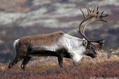 reinsdyr - Google-søk Art Photography, Animals, Animales, Fine Art Photography, Animaux, Animal, Animais