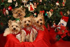 All I want for Christmas is a yorkie!