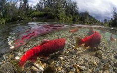 Jason Ching has spent years studying and photographing the world of sockeye salmon, and in a new short film, we see the fish like we never have before. Fishing Photography, Photography Guide, Better Photography, Trout Fishing Tips, Carp Fishing, Kayak Fishing, Fishing Tackle, Alaska Salmon Fishing, Ocean Habitat