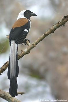 White-bellied Treepie, (Dendrocitta leucogastra) Member of the crow family. It's range is India, Laos, and the regions adjacent.
