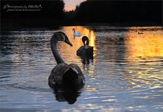Swans from the series 1-4 ~ AStoKo by AStoKo on DeviantArt