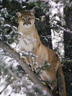 Cougar in a Snowy Tree.