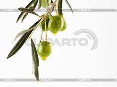 Картинки по запросу оливковая ветвь рисунок