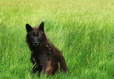 Canis lupus occidentalis: Wolves have always been a fascination of mine and I was thrilled when I got the opportunity to photograph a pack one afternoon. This particular Northwestern female wolf caught my eye because of her haunting yellow eyes and black