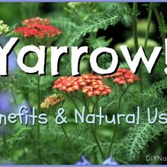 Yarrow Plant - Its Many Benefits and Natural Uses