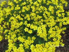 In the Flowery Spotlight this week: Dwarf golden flax! Yellow Flowering Plants, Full Sun Plants, Flax Plant, Drought Tolerant, Dwarf, Planting Flowers, Herbs, Backyard, Landscape