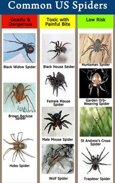 How To Identify Spiders  and Spider Bite URL:http://wolfspider.org/x