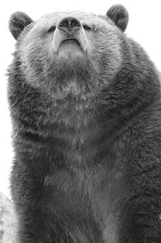 Brown bear (aka grizzly) visually asking a question standing on its two back legs ... Comments and ideas are always welcome !
