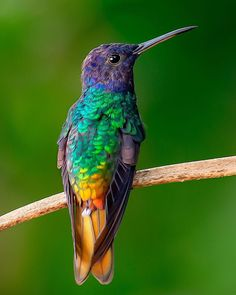 The Golden-tailed Sapphire living up to its name. These birds are like a rainbow of feathers. When the light hits them right you almost… Colorful Animals, Colorful Birds, Beautiful Birds, Animals Beautiful, Easy Pixel Art, Hummingbird Nests, Hummingbird Pictures, Love Your Pet, Kinds Of Birds