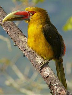 Araçari-banana - Pteroglossus bailloni