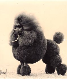 I have a thing for well groomed poodles.