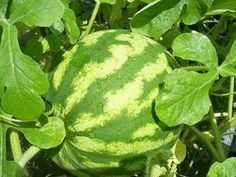 August: Vegetable gardening in north Texas