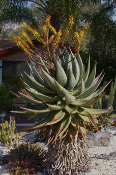 Flowering Succulents, Cacti And Succulents, Planting Succulents, Pictures Of Succulents, Succulent Names, Succulent Gardening, Water Wise, Carnivorous Plants, Horticulture