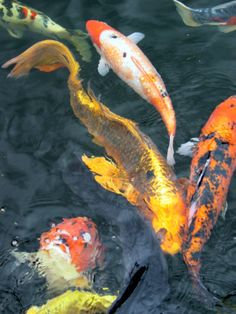 Some Koi fish from my brother in law's collection. Water Animals, Animals And Pets, Koi Fish Pond, Koi Ponds, Ocean Ecosystem, Common Carp, Koi Painting, Linear Art, Koi Art