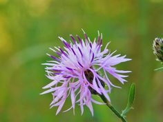 "17 Likes, 3 Comments - Cody James Rogers (@tinycameraphotography) on Instagram: ""Spotted Knapweed (Centaurea stoebe), English Point, Hayden, Idaho - These guys are another one of…"""