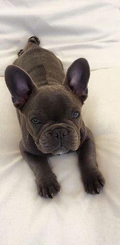 Jo la panthere bleu #bouledogue #francais, French Bulldog #buldog