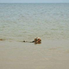 Mittagspause beendet... Blanket darf nochmal in der Nordsee schwimmen.  Ob er wohl heute den Weg zum Strand alleine findet?  #pmdoggyday2015 #yorkshireterrierblog #hundeblog #heiss #chillen #sommer #hitze #yorkie #Yorkshireterrier #hund #dog #blogger #dogblog #honden #dogstagram
