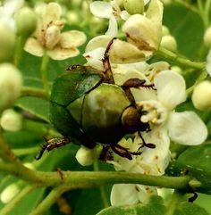 Escarabajo en flor de chamiso