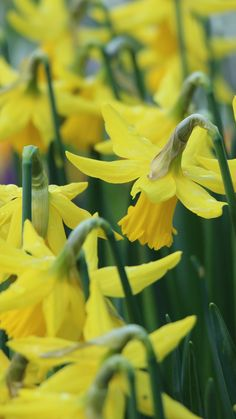 Narcissus Flowers Buds Stems #iPhone #6 #plus #wallpaper