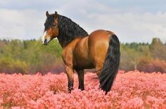 bay stallion on the pink field Easter and Spring Horses. Horses Learn about www. Cute Horses, Horse Love, All The Pretty Horses, Beautiful Horses, Simply Beautiful, Horse Flowers, Bay Horse, All About Horses, Brown Horse
