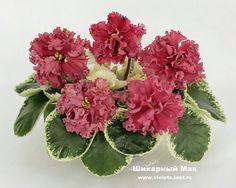 Шикарный Мак (К. Морев).   0чень крупные насыщенного цвета, почти оранжево-розовые, махровые цветы с выемчатой каймой. Красивая белая петролистность на светло-зеленой листве в форме ложечки. Шикарный сеянец! (Чужое фото)
