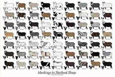 Schwarzdorn Shetlandschafe: Die Rasse