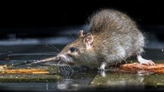 Buy Close up of Wild brown rat in water by CreativeNature_nl on PhotoDune. Close up of Wild Brown Rat (Rattus norvegicus) feeding on stones in water of river Manx Language, Rats, Institute For Creation Research, Brown Rat, Human Target, Manx Cat, Viking Age, First Humans, Isle Of Man