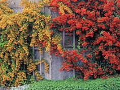Pyracantha 'Mohave' and Pyracantha 'Soleil d'Or. Easy to train against walls and fences and eye-catching shapes. Will attract birds.