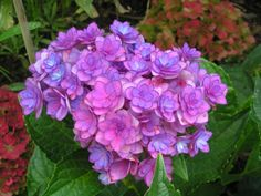 The Together Hydrangea was my smallest Hydrangea this year, but had the best blooms. They are a double flowered mophead plus the variety of color is hard to beat.
