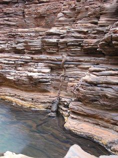 A large Snake pulling the carcass of a Cow out of a canyon waterhole somewhere in Australia...